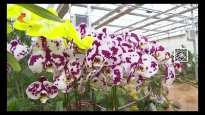 大年初二 肥乡区蝴蝶兰主题花卉展在河北卫视《河北新闻联播》惊艳绽放
