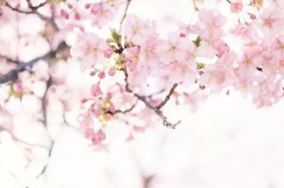河北6个最美樱花海,四月值得一游的好去处!