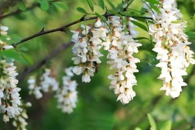 本周六,中国·涉县圣福天路首届槐花节将盛大开幕!