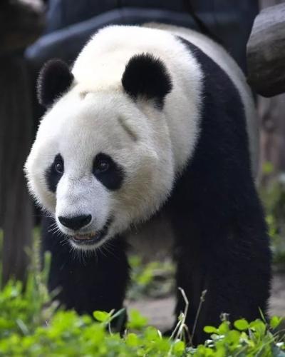 【关注】中国此时让大熊猫回国,美国人:不要走啊!
