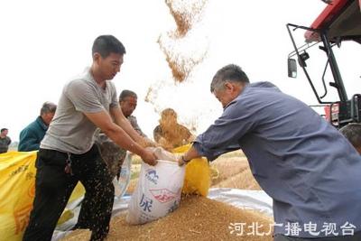 邯郸:端午时节抢收麦