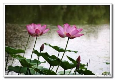 广平:最美六月天  满城飘荷香