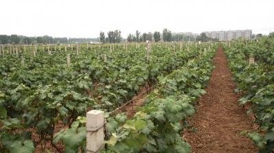 【央广】【农大人的曲周故事】科技,让农业生活更美好