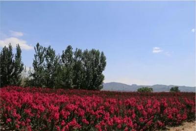 峰峰:紫薇花开满眼红