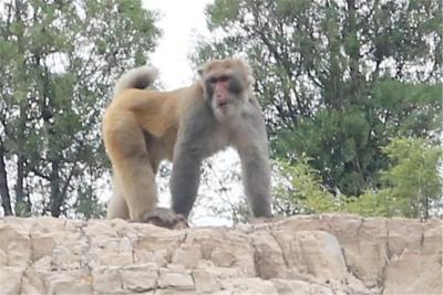 磁縣西部山區驚現野生獼猴