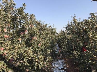 """肥乡区刘寨营:苹果成为致富""""摇钱树"""""""