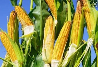 961.42公斤!邯郸夏玉米亩产创全省纪录