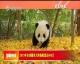 2019年全球圈养大熊猫数量达600只