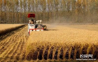 【他们,在希望的田野上】系列报道①水稻专家张启星:脚下踩泥,心中才有数