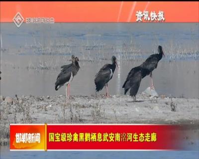 国宝级珍禽黑鹳栖息武安南洺河生态走廊
