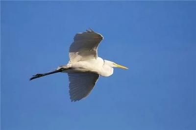 看!如意湖畔,白鷺入畫……