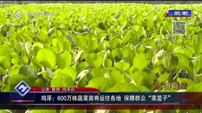 """鸡泽:600万株蔬菜苗将运往各地 保障群众""""菜篮子"""""""