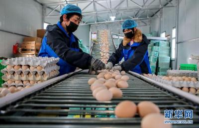 河北成安:稳定畜禽生产 保障产品供应