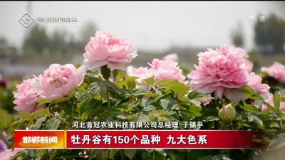 峰峰:牡丹花开色正浓 拓宽村民致富路