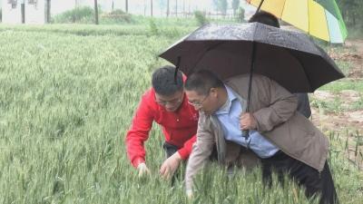 农技专家田间地头指导小麦管理 夯实夏粮丰产基础