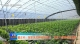 馆陶翟庄村:探索黄瓜种植新技术  拓宽大棚种植新品种