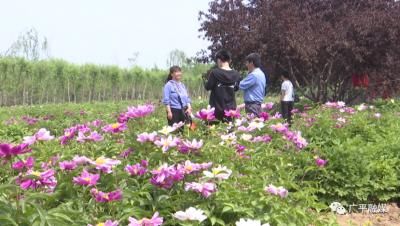 广平百亩芍药花开成海 赏花正当时
