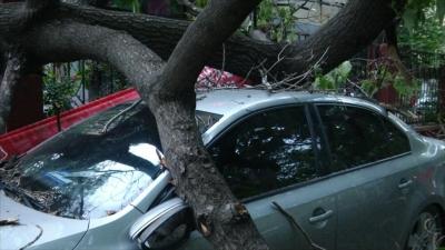 """大树被风刮倒  路边汽车""""很受伤"""""""