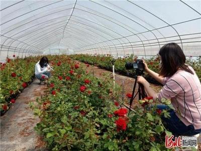 邯郸肥乡区千亩玫瑰园对外开放