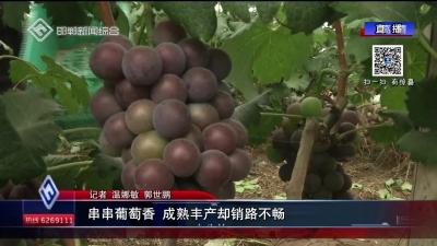 串串葡萄香 成熟豐產卻銷路不暢