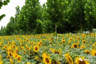 曲周林下种植:美了环境,富了乡亲!