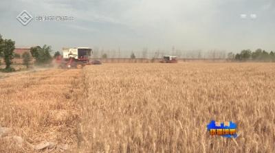 """馆陶黑小麦种到农民""""心坎上"""""""