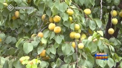 冀南新区:又到麦黄杏熟时