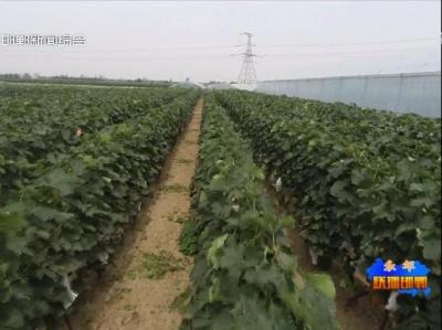 永年区张西堡镇:小葡萄做足产业发展大文章