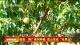"""磁县: 推广果树种植 荒山变成""""花果山"""""""