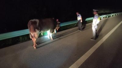 """高速路上黃牛撒歡 交警變身""""趕牛人"""""""