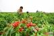 臨漳:辣椒紅了 農民富了