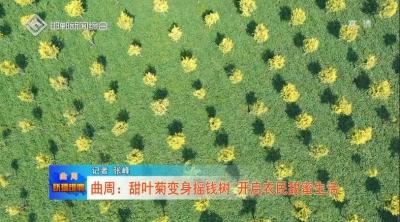曲周:甜叶菊变身摇钱树 开启农民甜蜜生活