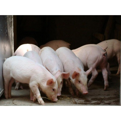生猪养殖利润仍处高位 多家上市猪企三季报业绩翻番