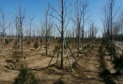 邯郸丛台区全年累计造林2.3万亩