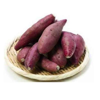 邱县古城营镇小红薯带动130余户稳定脱贫