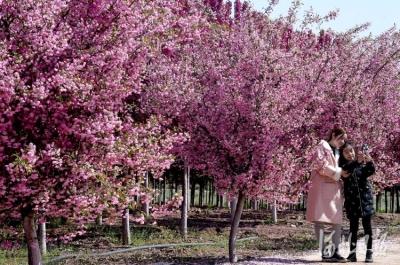 河北邯郸:千亩海棠映春光