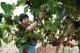 河北廣平:桑葚果種出甜蜜致富路