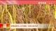 秋糧麵積比上年增加 長勢總體良好