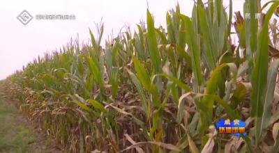 成安縣28.5萬畝玉米收獲穩定